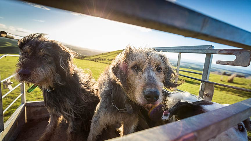 two farm dogs look through bars on open trailer